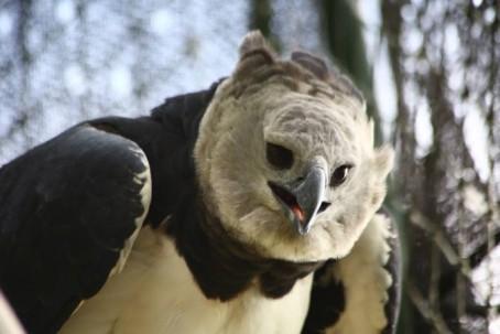 Especies como el águila harpía (Harpia harpyja) se lograron registrar en el segundo Conteo de Aves en el Yasuní. Foto: El Universo