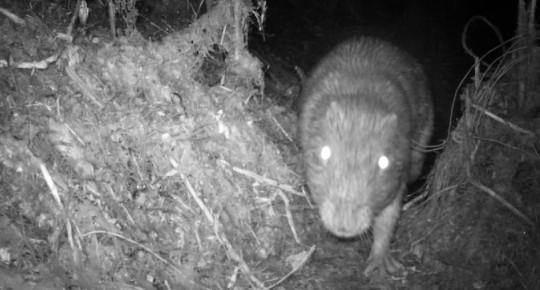 Cámaras trampa identifican varios mamíferos en el Parque Sangay / Foto cortesía Ministerio de Ambiente