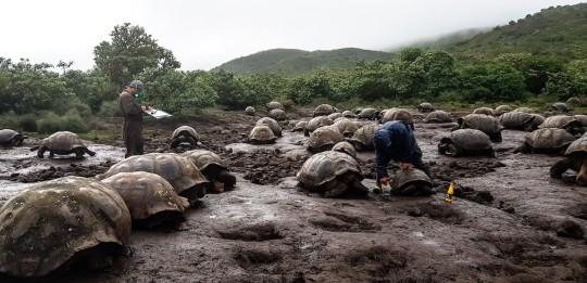4.723 tortugas gigantes fueron marcadas en isla Isabela / Foto EFE