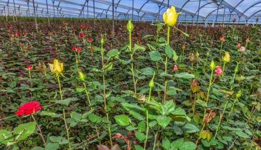 El sector de floricultura de Ecuador, genera 850 millones de dólares anuales. Foto: Expreso