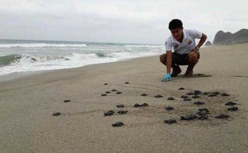 Más de 9.000 tortugas marinas golfina nacieron en Las Palmas –  foto EFE