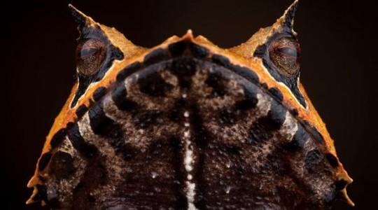 La rana incubadora cornuda (foto) lleva sus huevos en la espalda, como mochila.  Foto: EL COMERCIO