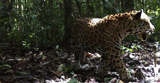 WWF lanza una estrategia continental para proteger al jaguar / Foto: EFE