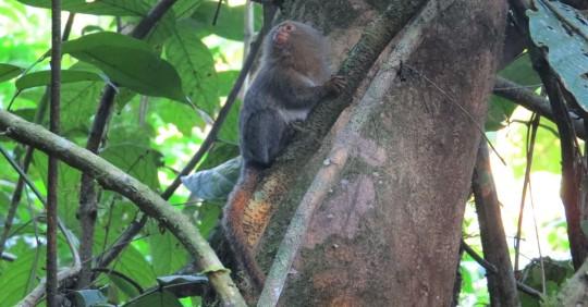 Una nueva especie de leoncillo fue descubierto en la Amazonía / Foto: EFE