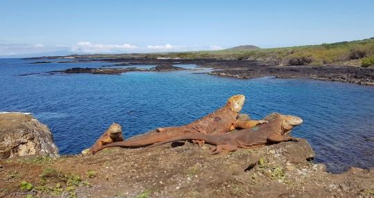 Reintegran a cerca de 500 ejemplares de iguanas extintas en la isla Santiago / Foto EFE