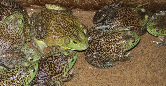 La rana, una especialidad de Zamora / Foto: El Oriente