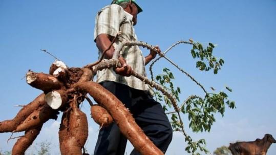 La yuca proporciona grandes beneficios nutricionales en la alimentación diaria. Foto: BBC