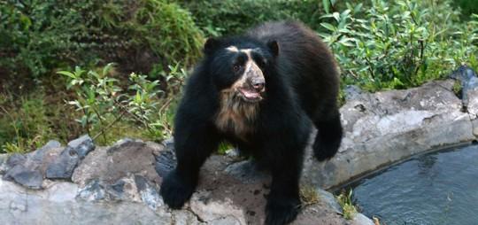 """Yaya y Yachak son algunos de los apelativos que se da al afamado oso de anteojos, o Ucumari, que es considerado el """"rey de la fauna andina"""".  Foto: El Telégrafo"""