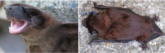 Describen nueva especie de murciélago en los Andes de Colombia, Perú y Ecuador / Foto EFE