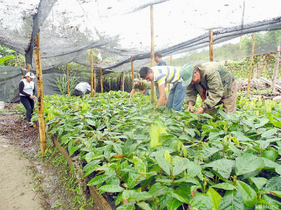 CACAO. Los socios de la organización durante su actividad productiva.