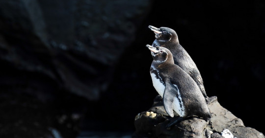 La población de pingüinos y cormoranes alcanza una cifra récord en las Islas Galápagos. Foto: EFE