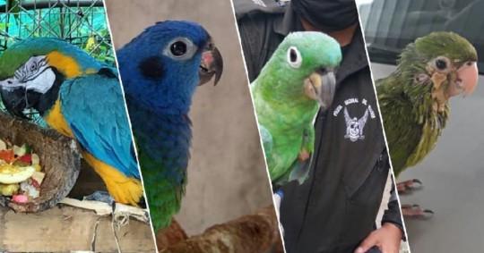 Cuatro aves víctimas de tenencia ilegal fueron rescatadas/ Foto: cortesía Ministerio de Ambiente