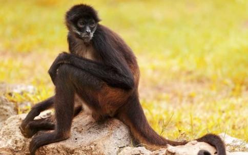 Mono araña, una de las cuatro especie de primate, más afectada por la cacería en Ecuador.