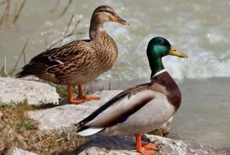 Estudios. Al menos 15 clases de aves están en peligro crítico. Foto: La Hora