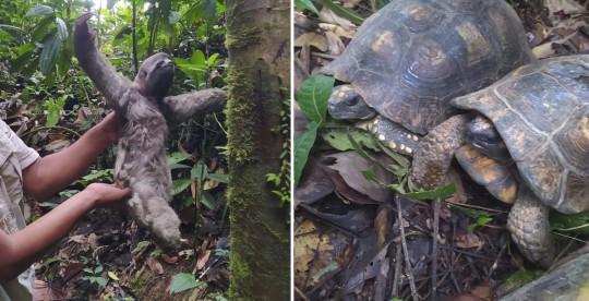 Tres osos perezosos y ocho tortugas regresan a su habitad natural  / Foto cortesía Ministerio de Ambiente
