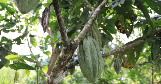 El cacao de Ecuador ya se ubica tercero a nivel mundial / Foto: El Oriente