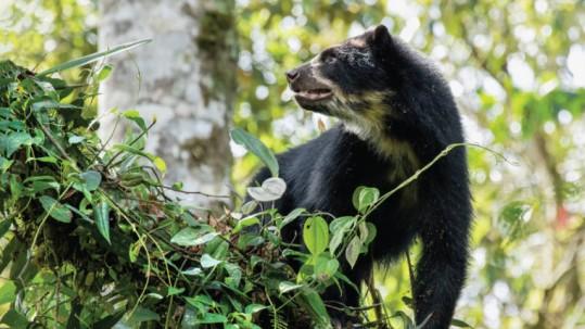 En la zona, ahora protegida, se encuentra el Corredor Ecológico del Oso Andino. Foto: Expreso