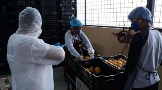 Los productores de Pitahaya de Palora trabajan desde abril pasado con estrictos protocolos de seguridad. Foto: Cortesía Municipio de Palora