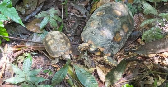 15 tortugas fueron devueltas a su hábitat natural del Parque Nacional Yasuní / Foto: Cortesía del Ministerio de Ambiente