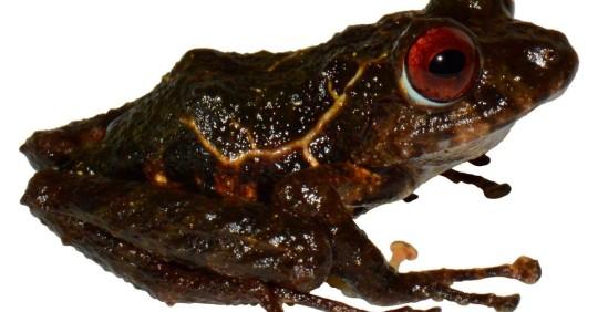 """Una nueva especie de rana en Ecuador es nombrada """"ledzeppelin""""/ Foto: EFE"""