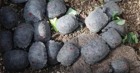 Un policía fue arrestado por tráfico de 185 tortugas neonatas en Galápagos / Foto: Cortesía del Ministerio de Ambiente