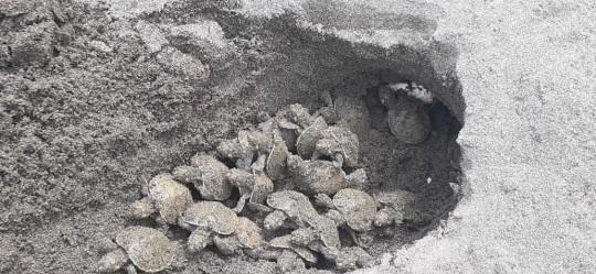 Nacen 77 tortugas charapa en El Yasuní / Foto: EFE