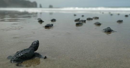 Más de cuatro mil tortugas marinas nacieron en Manabí / Foto: EFE