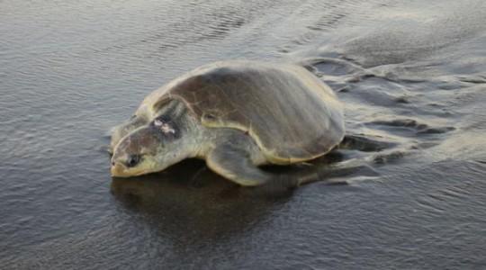 La tortuga Olive Ridley (Lepidochelys olivacea) también es conocida como olivácea o golfina. Foto: El Comercio
