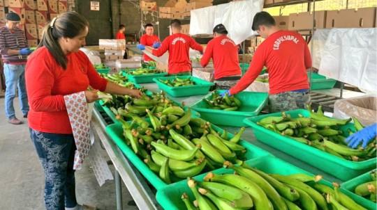 Las medidas de Agrocalidad contra el hongo Fusarium Raza Tropical 4 incluye visitas y capacitación a pequeños productores. - Foto: Ministerio de Agricultura. Foto: Primicias
