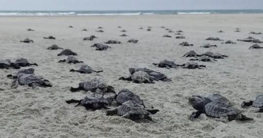 Nacen 78 tortugas golfinas en una playa del norte de Ecuador / Foto: EFE