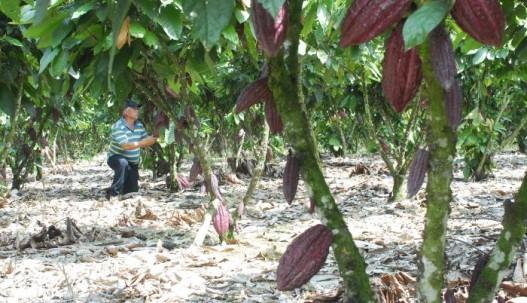 En el país, unas 240.000 familias viven de la producción de cacao. Otras 50.000 de la exportación .Archivo / Expreso