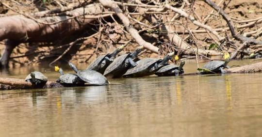 66 tortugas charapas fueron liberadas en el Parque Nacional Yasuní / foto cortesía Ministerio de Ambiente
