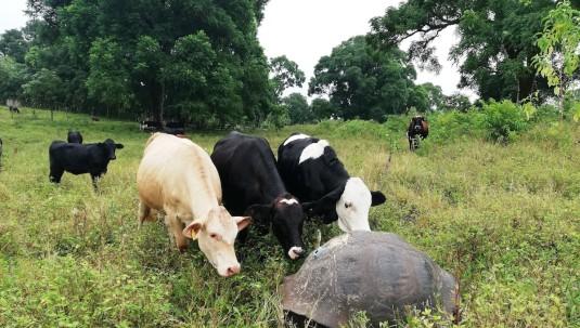 Tortugas gigantes de Galápagos resisten a los antibióticos / Foto EFE