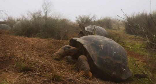 Galápagos, semillero de tortugas / Foto EFE
