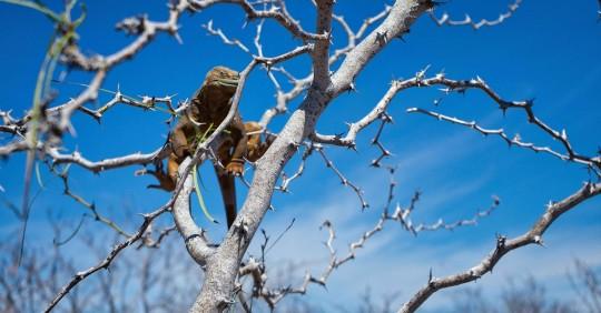 Confirman adaptación de 2.139 iguanas reintroducidas en isla de Galápagos. Foto: EFE