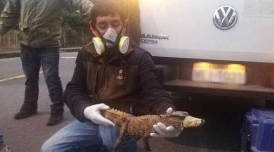 Los rescatistas del reptil colocaron cinta de embalaje en el hocico del animal para trasladarlo a un lugar seguro. Foto: Cortesía Dirección de Ambiente de Morona Santiago