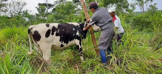 MAG ofrece servicio veterinario gratuito para ganaderos de Napo / Foto: cortesía Ministerio de Agricultura