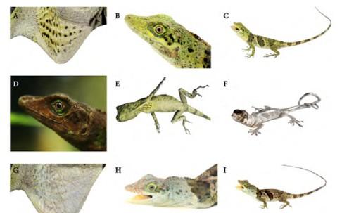 Nueva especie de lagartija fue hallada en los Andes / Foto INABIO