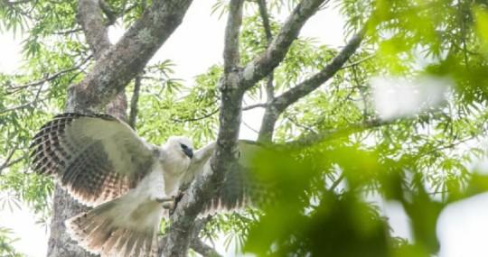 Ecuador y España se unen para proteger águila harpía en Limoncocha / foto: cortesía Ministerio de Ambiente