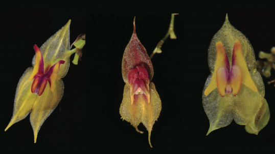 Tres nuevas especies de orquídeas fueron descubiertas en Ecuador/Foto: cortesía Ministerio de Ambiente