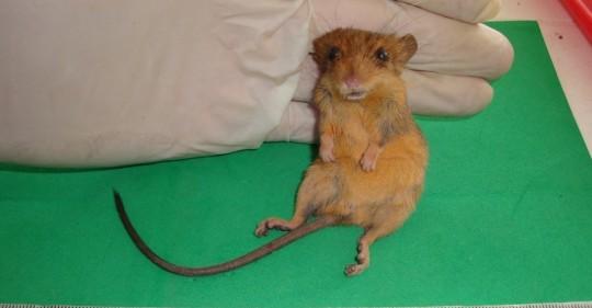 Descubren especie de roedor que se creía inexistente en el país / Foto: EFE