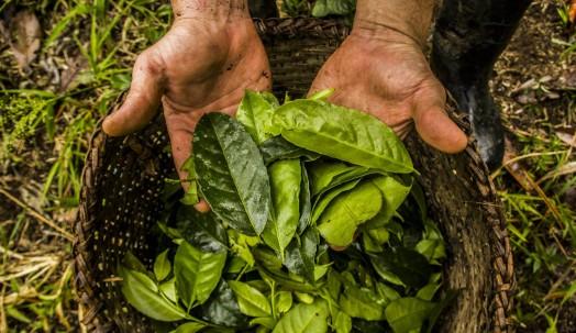 Hojas de guayusa, una planta originaria de la Alta Amazonía que se consume desde hace más de mil años por sus propiedades energéticas, antioxidantes y antiinflamatorias. Foto: El País