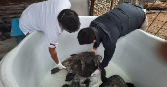 Rescatadas cinco tortugas marinas / Cortesía del Ministerio de Ambiente
