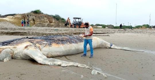 Ballena jorobada, que se varó en playa de Posorja, fue enterrada/ Foto: EFE