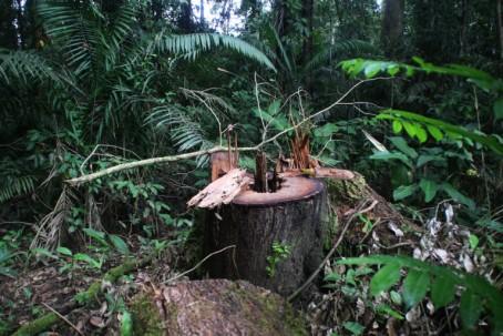 Tala ilegal selectiva de especies como el cedro y el chuncho en la zona intangible. Foto: Edu León.