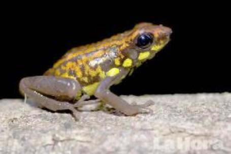 DIVERSIDAD. La rana venenosa del género Dendrobates es una de las especies encontradas en Nangaritza. (Fotos de NCI, Darwin Nuñez y Trotsky Riera)