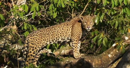WWF busca respaldo de Latinoamérica para salvar el jaguar, su mayor felino / Foto EFE