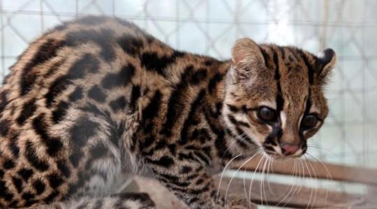 El espécimen fue abandonado en un centro veterinario de la provincia. Foto: El Comercio