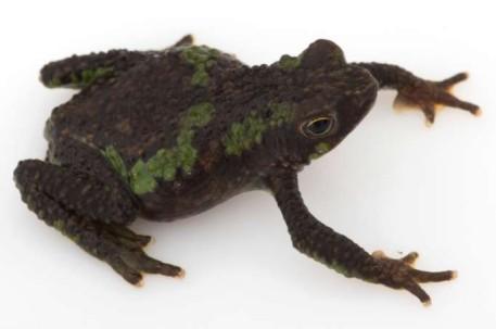 ESPECIE. El único individuo de rana verrugosa mide actualmente 32 mm. Foto: La Hora
