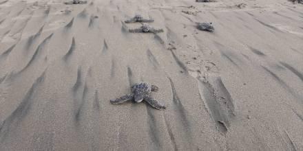 Nacen en Ecuador las primeras tortugas marinas laúd en cuatro décadas / foto EFE